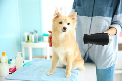 台の上に座ってドライヤーで乾かされている犬