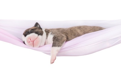 ハンモックで寝る子犬
