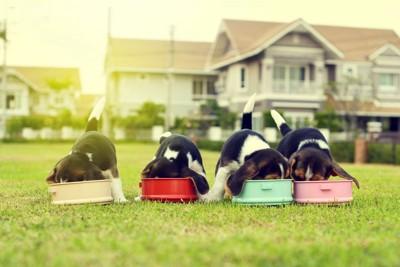 餌を食べる四匹の犬