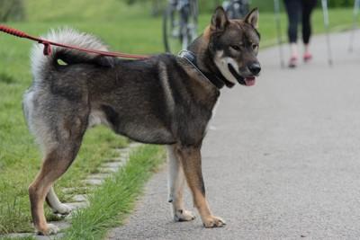 赤いリードの四国犬