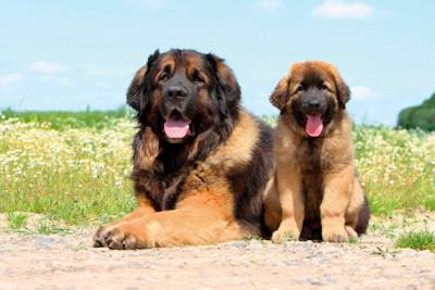 レオンベルガー、成犬と子犬