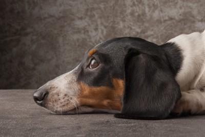 伏せをして見あげる犬の横顔