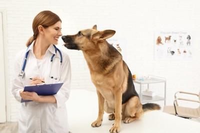 動物病院で診察台に登っているシェパード