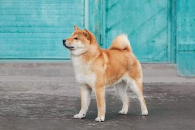 青い壁の前に立つ柴犬