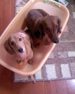 上目遣いの先輩犬と後輩犬