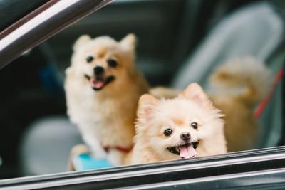 車に乗る二頭のポメラニアン