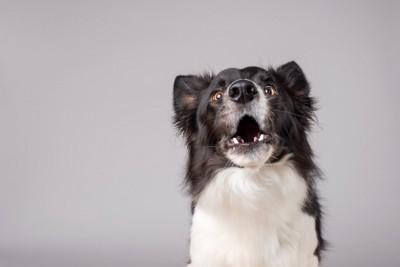 正面を向いて口を開けている犬