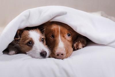 布団をかぶって寄り添う2匹の犬
