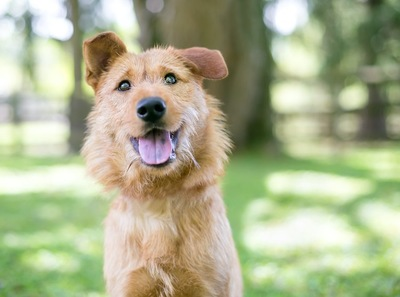 こちらを見つめる片耳が垂れた長毛の犬