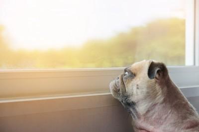 寂しそうに窓の外を眺めるパグ