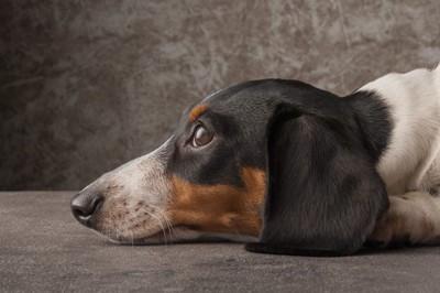 伏せをする犬の横顔