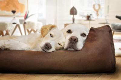 ベッドで休む2頭のゴールデン・レトリーバー