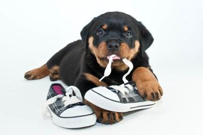 靴を噛んでいるロットワイラーの子犬
