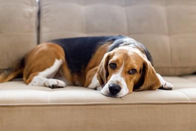 ソファーの上で悲しそうに伏せている犬