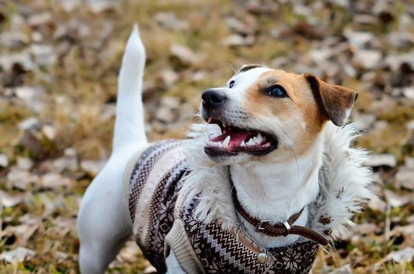 オシャレ着の犬