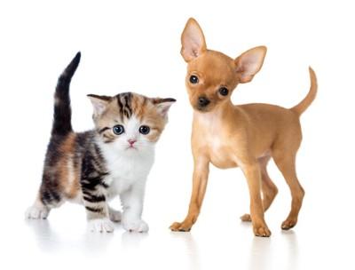 三毛の子猫とチワワの子犬