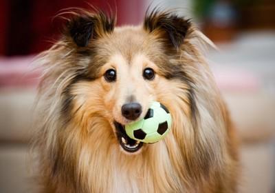 サッカーボールを咥えるシェルティー