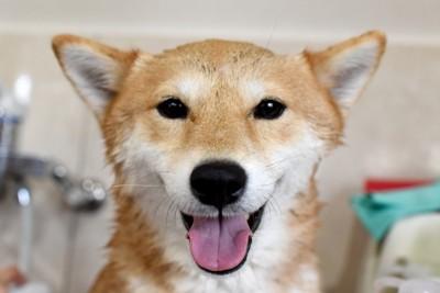 シャンプーされる柴犬