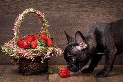 苺を見る犬