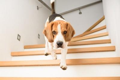 階段を下りてくるビーグル