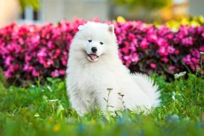 69955709  ピンクの花の前で座っているサモエドの子犬