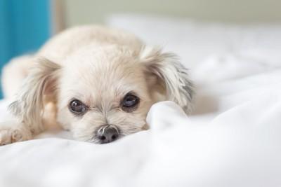 ベッドに顔を埋める白い犬