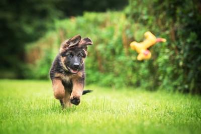 おもちゃを追いかけて走る子犬