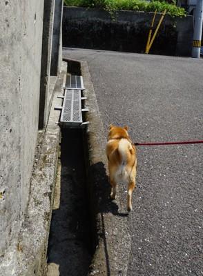 散歩中に側溝ギリギリを歩く柴犬