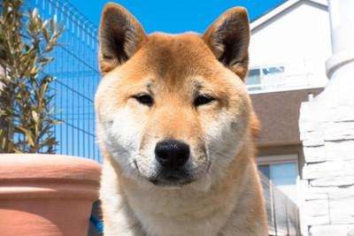 正面を見ている柴犬