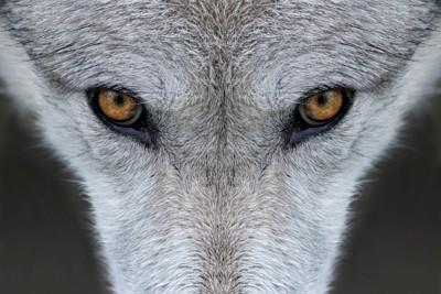 オオカミの目