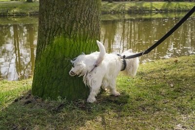 おしっこをする犬