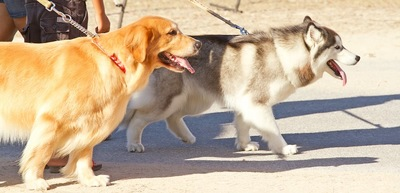 並んで散歩する2匹の犬