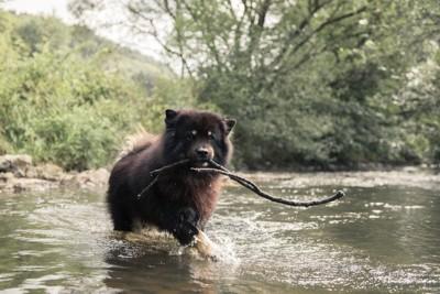 川を渡るチャウチャウ