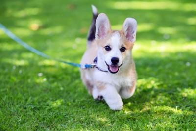 青いリードで散歩するコーギーの子犬