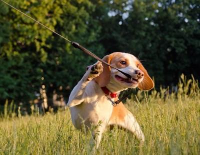 リードを咥えて引っ張る犬