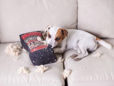 ソファーの上でイタズラする犬