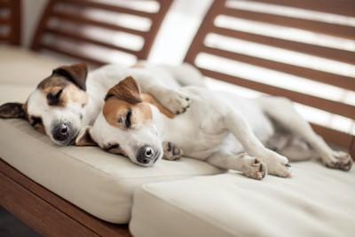 ソファーで眠る二頭のジャックラッセルテリア