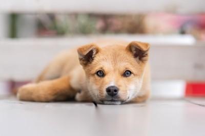 見つめる柴犬の子犬