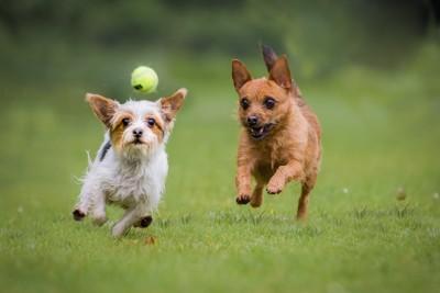 ボールを追いかけて走る二匹の犬