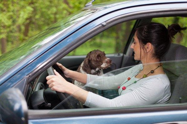 運転席の女性を見つめる犬