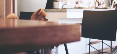カフェの奥に見えるポメラニアン