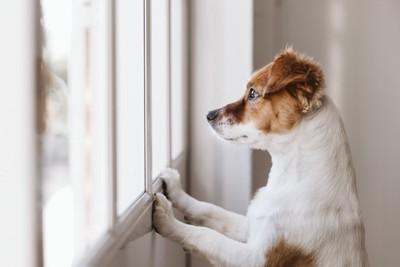 立ち上がって窓の外を眺めている折れ耳の犬