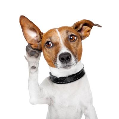 耳に手を当てて聞こうとする犬