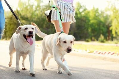 並んでお散歩する二頭のラブラドール