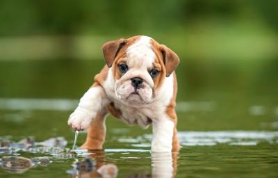 水に入って片手を上げるブルドッグのパピー