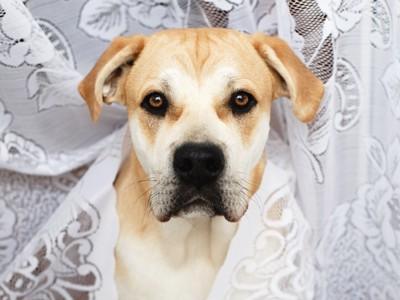 カーテンをかぶっている犬