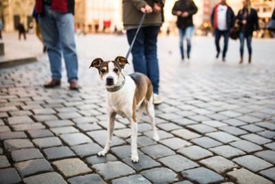 石畳の道で散歩中にこちらを見る犬
