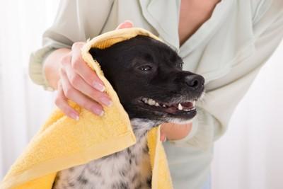 タオルで頭を拭かれる犬
