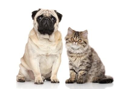 パグと子猫