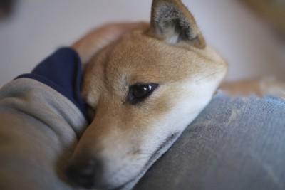 飼い主の膝に顎を乗せる柴犬